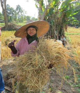 Rice farmer harvests her rice fields in central Thailand.