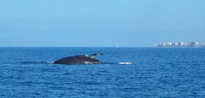 Round-out - the back of a mother whale, with her calf;s tail showing behind her.
