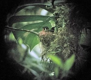 Baby Purple-Throated Mountain Gem still in the nest.