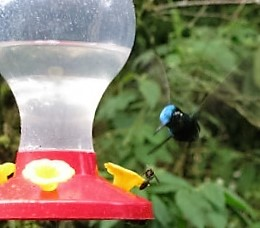 A purple throated mountain gem argues with a wasp over rights to the nectar.