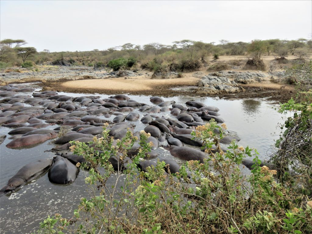 The Hippo Pool of the Serengeti